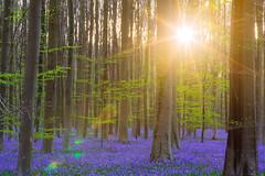 2016春紫色森林日出-4 (fengchi860602) Tags: 欧洲 春 风信子 比利时 布鲁塞尔