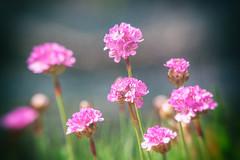 Pink Alpines (MacBeales) Tags: pink canon eos alpine 350 nik filters