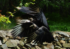 Vulture 2 (Wolfram Burner) Tags: portrait black bird virginia wildlife profile flight aves vulture burner wolfram coragyps atratus