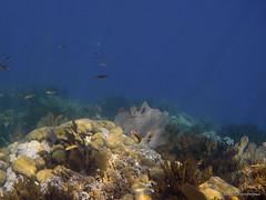 Buscando a Dori (Angela MGM) Tags: ocean naturaleza nature azul mar agua peces republicadominicana oceano arrecife 2016 cayoarena juegolvm