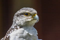 Lanner Falcon (andymulhearn) Tags: canonef70200mmf4lusm flickrbirds icbp eos7d2