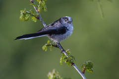 Long tailed Tit (cooky1959) Tags: tits worcestershire uptonwarren longtailedtits