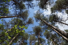 Reaching High (steve_whitmarsh) Tags: wood trees nature forest
