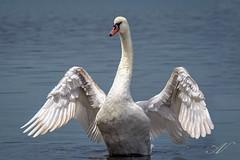 Wings up (andreavalente1) Tags: lake bird swan wings ali jupiter cigno lagodibracciano 21m