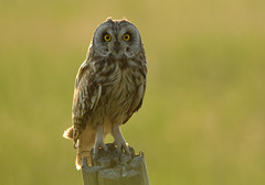 Short Eared Owl (Severnrover) Tags: fence river post severn short owl eared