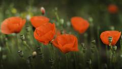 Ababoles (Carpetovetn) Tags: flor colores amapola tamron2875 ababa ababol nikond610