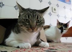 152-September'11 (Silvia Inacio) Tags: cats cat tabby gatos calico gata princesa pipoca bestofcats catmoments