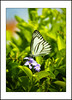White butterfly on purple flowers (e.nhan) Tags: life light white flower green art nature leaves closeup butterfly leaf shadows dof purple bokeh butterflies backlighting enhan