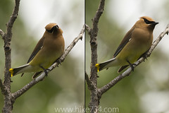 "Cedar Waxwing • <a style=""font-size:0.8em;"" href=""http://www.flickr.com/photos/63501323@N07/6419958215/"" target=""_blank"">View on Flickr</a>"
