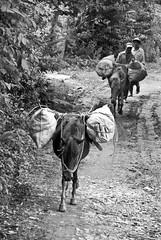 Donkeys (KAM0S) Tags: trip nikon holidays vietnamese vietnam hanoi vacations sapa bacha halongbayninhbinh