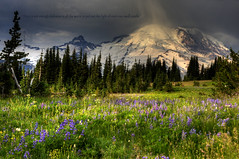 In the darkness comes the light (Deby Dixon) Tags: travel trees light snow fall tourism nature sunrise outdoors photography volcano washington nationalpark nikon moody cloudy hiking glacier wildflowers mtrainier lupine deby allrightsreserved alpinemeadow mtrainiernationalpark 2011 debydixon debydixonphotography