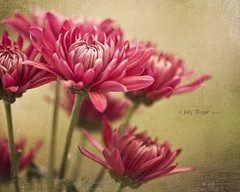 """""""Flowers seem intended for the solace of ordinary humanity."""" (dog ma) Tags: pink flowers dog texture nature ma nikon mums nikkor chrysanthemum 105mm fantasticflower florabella d700 magicunicornmasterpiece thepinnaclehof tphofweek190"""
