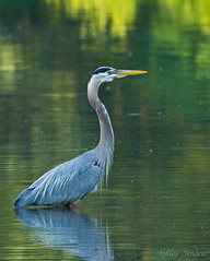 GBH1 (AshleyJensenAvianPhotography) Tags: heron canon tennessee waders 100400