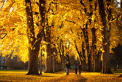 we all live in a yellow... (Csbr) Tags: road park city november autumn trees light sunset sunlight color nature yellow oregon landscape 50mm golden leaf flora university foliage trail adapter m42 canon350d pacificnorthwest pentacon elm corvallis oregonstate 2011 1850mm gettyscreening