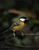 GREAT TIT (Shaun's Wildlife Photography) Tags: birds shaund