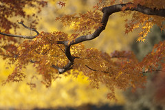 (torode) Tags: park autumn japan tokyo maple branch dof nerima  hikarigaoka bentorode