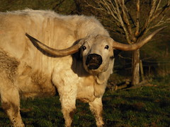 mad cow (The Mucker) Tags:
