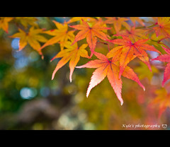 ( ()) Tags: japan maple kyoto bokeh olympus   zuiko e30   1454