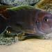 Cynotilapia aurifrons Luwino Reef