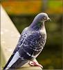 PIGEON (Shaun's Wildlife Photography) Tags: birds shaund