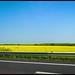 Rapeseed Fields in Normandy