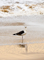 Black-backed Gull (Geographyman) Tags: nature birds standing dawn coast waves wildlife gull staring canon70300mml