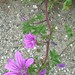 "Malva sylvestris L., Malvaceae • <a style=""font-size:0.8em;"" href=""http://www.flickr.com/photos/62152544@N00/6596762551/"" target=""_blank"">View on Flickr</a>"