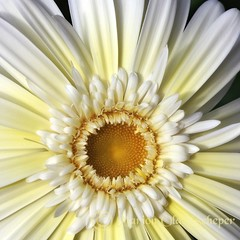 Gerbera (Omasjon) Tags: white flower macro green nature netherlands fleur beauty yellow fleurs canon heart ngc gerbera quintaflower photocontest nationalgeographic fragaria naturesfinest topshots mixedflowers abigfave flowersarebeautiful theperfectphotographer excellentsflowers natureselegantshots natureselegantsshots flickrflorescloseupmacros greatsshots flowersarebeautifu mygearandme mygearandmepremium flickrsportal exquisiteflores allofnatureswildlifelevel1 pureclassgoldbandaward mirmamorflower faunaandfloraattheworld soulocreativity4