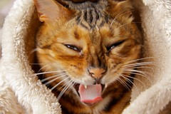 Ready to Rumble (secondhobby) Tags: cat funny yawn fangs saki bengal