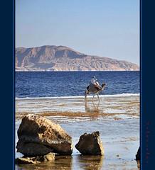 Il cammello sulla scogliera - The camel on the reef (Jambo Jambo) Tags: sea panorama seascape landscape nikon mare redsea egypt sharmelsheikh camel reef egitto bedouin cammello beduino barrieracorallina marrosso d5000 grandemaregroup nikonflickraward jambojambo mygearandme mygearandmepremium mygearandmebronze mygearandmesilver mygearandmegold mygearandmeplatinum mygearandmediamond
