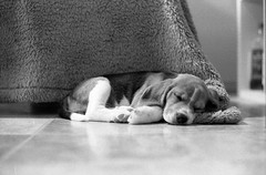 Sleepy (Matthew Post) Tags: sleeping blackandwhite dog cute beagle puppy explore hp5 ilford practika mtl5 explored
