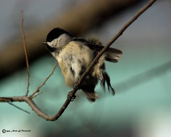 _Flufed Chickadee 7300.JPG.xcf (Norm Townsend) Tags: bird oklahoma nature birds backyard pentax bigma wildlife gimp sigma tulsa carolinachickadee paruscarolinensis greencountry k10d gmic creekcounty normtownsend sigmaapo50500f463