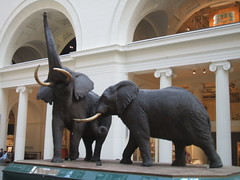 African Elephants (D. S. Haas) Tags: usa chicago illinois unitedstates taxidermy mammalia cookcounty africanelephant halas loxodontaafricana chordata sarcopterygii proboscidea elephantidae fieldmuseumofnaturalhistory haas carlakeley