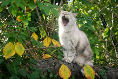 Cleopatra (cinzia bertodatto) Tags: cats cat gatti animalplanet animali ruggiti