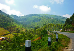 On the way to ooty (Gokul [amvj]) Tags: india tamilnadu ooty teaestate udhagamandalam indiantea udhagai
