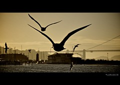 fleeing the scene of a five o'clock murder | san francisco, ca (elmofoto) Tags: ocean bridge sunset urban bird beach nature animal silhouette marina photography golden bay gate san francisco noir fav50 gulls flock flight wing fav20 goldengatebridge murder hitchcock crows fav30 pf 500v ggb 1000v fav10 fav100 fav40 fav60 fav90 fav80 fav70 afsvrzoomnikkor70300mmf4556gifed elmofoto lorenzomontezemolo forcurators