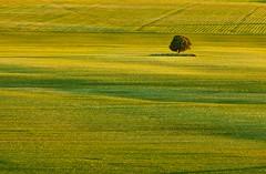 (Antonio Carrillo (Ancalop)) Tags: light españa tree verde green luz field grass canon de arbol la spain europa europe mark murcia cruz ii campo l 5d usm lopez antonio f4 carrillo 70200mm hierba caravaca loneny ancalop