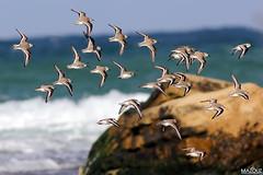 Bécasseau sanderling (aziouezmazouz) Tags: cute bird amazing colours bokeh cutie beautifulscenery bellissima awesomeshot beautifulcapture naturewatcher naturesgreenpeace canon400mmf56usm