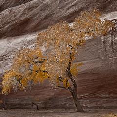 Golden Fleece (Mike.D.Green) Tags: arizona usa snow art photos fine canyondechelly chinle