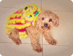 how to train your dragon (girl enchanted) Tags: red dog puppy toy poodle doggy toypoodle poodlepuppy redpoodle
