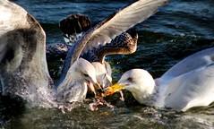 Squabbling Herring Gulls (RobMcA Photography) Tags: ireland nature wildlife gulls arts belfast robireland flickrstruereflection1 flickrstruereflection2