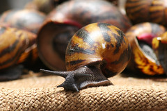 Snails at a market in Accra, Ghana. (cookiesound) Tags: trip travel vacation holiday travelling canon photography fotografie diary urlaub documentary destination canoneos reise travelphotography traveldiary reisefotografie reisetagebuch cookiesound nisamaier reisedokumentation ulrikemaier ullimaier traveldocumentyray