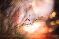 The beauty of a second (immi60) Tags: light red sun nature garden kiss dof bokeh flare rosehip udvar fny 85mm18 csipkebogy unbelievablybeautiful canon5dmkii