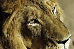 Look Into My Eye: Lion at Denver Zoo (ScorpioChristo) Tags: canon colorado denver denverzoo denvercolorado canonef100400mmf4556lisusm canon5dmarkii mygearandme