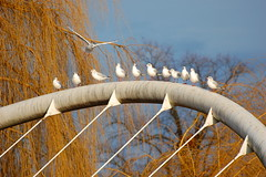 Have You Lot Got Room For One More?.... (Wire_cat) Tags: bridge seagulls birds bedford gulls resting nikond40 butterflybridge wirecat