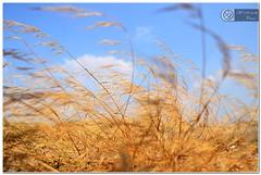 Golden Grass (wishvam) Tags: madurai yabbadabbadoo dsc5366 yaanaimalai nikond5100 wishvam