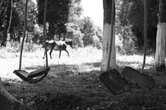 (j_aguiar) Tags: preto árvore cavalo balanço jaguiar