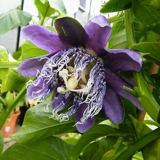 Passiflora macrocarpa 'Blue Moon'