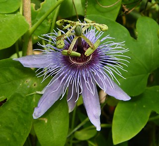 Passiflora 'Purple Companion'