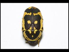 Pachnoda sp. (Mashku) Tags: nature beetle insects beetles coleoptera scarabeidae pachnoda cetoniidae cetoniini cetoniine